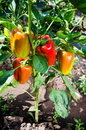Sweet orange bell peppers growing in the garden Royalty Free Stock Photo