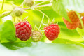Sweet Organic Raspberries on the Bush Royalty Free Stock Photo