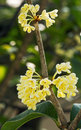 Sweet osmanthus flower group of and leaves close up Royalty Free Stock Photos