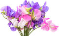 Sweet pea flowers isolated on white Stock Photography