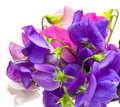 Sweet pea flowers isolated on white Royalty Free Stock Photo