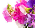 Sweet pea flowers isolated on white Stock Images