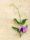 Sweet pea flowers on sack Stock Image