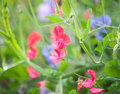 Sweet pea lathyrus odoratus blooming garden very shallow dof Royalty Free Stock Photos