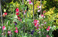 Sweet pea lathyrus odoratus in flower growing up a support various colors including pink white and purple Stock Images