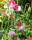 Sweet pea lathyrus odoratus a portrait version of flowering strong flowers colors are green white and pink Royalty Free Stock Photography