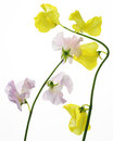 Sweet pea pictured peas in a white background Stock Image