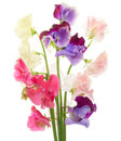 Sweet pea pictured various color peas in a white background Stock Image