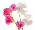 Sweet pea pictured the in a white background Royalty Free Stock Photo
