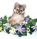 Sweet Pomeranian Puppy Royalty Free Stock Photo