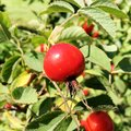 Sweet red berry briar growing on bush with leaves green