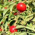 Sweet red berry briar growing on bush with leaves green Royalty Free Stock Photo