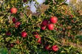 Sweet, red, juicy apples growing on the tree in their natural environment. Royalty Free Stock Photo