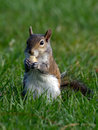 Sweet squirrel snacking adorable having a snack on grass in a park Royalty Free Stock Photos