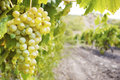Sweet and tasty white grape bunch on the vine Royalty Free Stock Images
