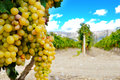 Sweet and tasty white grape bunch on the vine Royalty Free Stock Image