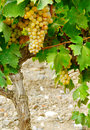 Sweet and tasty white grape bunch on the vine Stock Photo