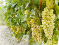Sweet and tasty white grape bunch on the vine Royalty Free Stock Photo