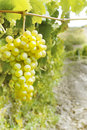 Sweet and tasty white grape bunch on the vine Stock Photos