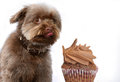 Sweet temptation, dog eats forbidden food Royalty Free Stock Photo