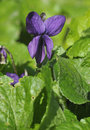 Sweet Violet Royalty Free Stock Photography