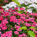 Sweet william flowers background Stock Image