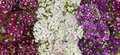 Sweet william flowers background