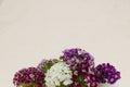 Sweet william flowers bouquet