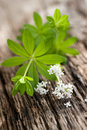 Sweet woodruff Royalty Free Stock Photos
