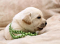 Sweet yellow labrador puppy portrait in green beads on the pale background Royalty Free Stock Photography