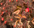Sweetbriar Rose (Rosa rubiginosa) Hips Stock Photos