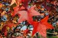 Sweetgum In Autumn