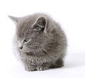Sweetie soft grey kitten on white Stock Images