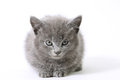 Sweetie young grey kitten on white Stock Image