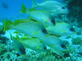 Sweetlips Stockbild