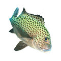 Sweetlips fische Stockbild