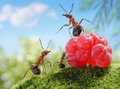 Sweets are unhealthy for children ant tales ants and raspberry Stock Photo
