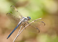 Swift Long-winged Skimmer Stock Photography