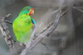 Swift parrot Royalty Free Stock Photo