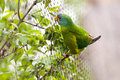 Swift parrot closeup of a lathamus discolor Royalty Free Stock Photography