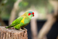 Swift parrot portrait a portait photo of a Stock Images