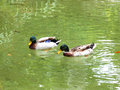 Swiming ducks two together in a green water Royalty Free Stock Image