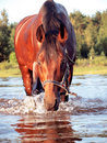 Swimming bay horse Royalty Free Stock Photo