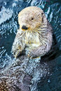 Swimming beaver Royalty Free Stock Photo