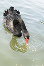 Swimming a black swan. Royalty Free Stock Photo
