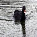 Swimming black swan at Claremont Landscape Garden, Surrey, UK