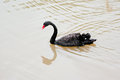 Swimming black swan in the pond Stock Image