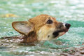 Swimming dog Royalty Free Stock Photography