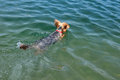 Swimming dog with copy space in crystal clear water yorkshire terrier down in picture Royalty Free Stock Photos
