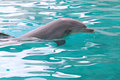 Swimming dolphin Stock Photography